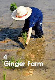 Ginger Farm